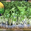 The Sprouting Kraut   Grow Your Own Food at Home: Sprouts