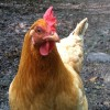 Raising Chickens in your Backyard: a sustainable food source