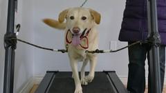 Dog Training: Train your dog to walk on a treadmill.