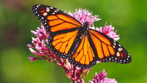 Attract Monarch Butterflies to your Garden