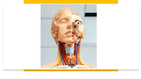 Human Anatomy : Arterial supply of Head and Neck