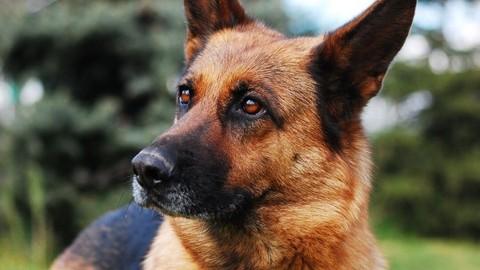 Secretos Del Perro Pastor Alemán: Cuidados y Adiestramiento