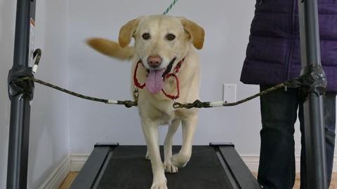 Netcurso-train-your-dog-to-walk-on-a-treadmill